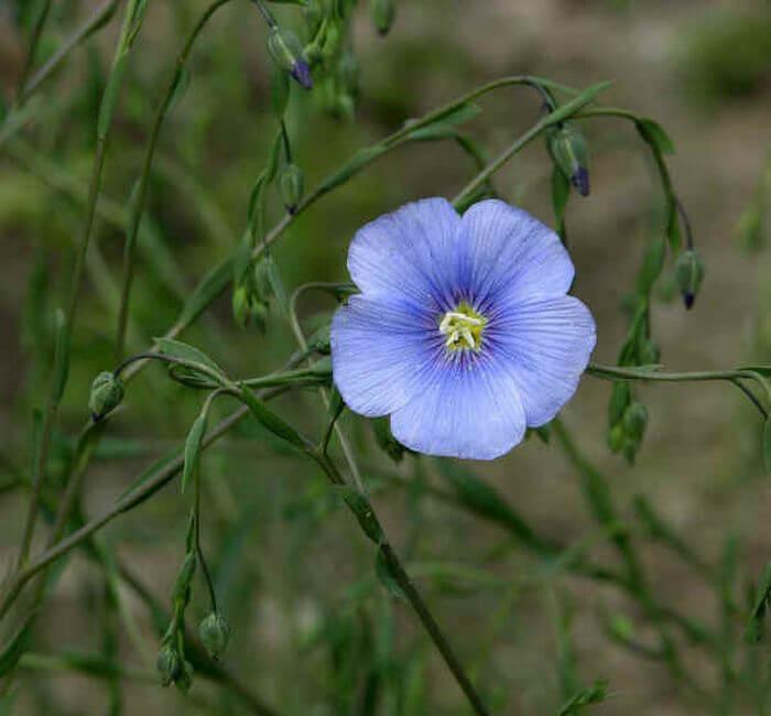 семена льна при холестерине при повышенном как принимать