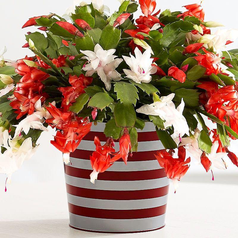 Декабрист: простой СЕКРЕТ пышного цветения