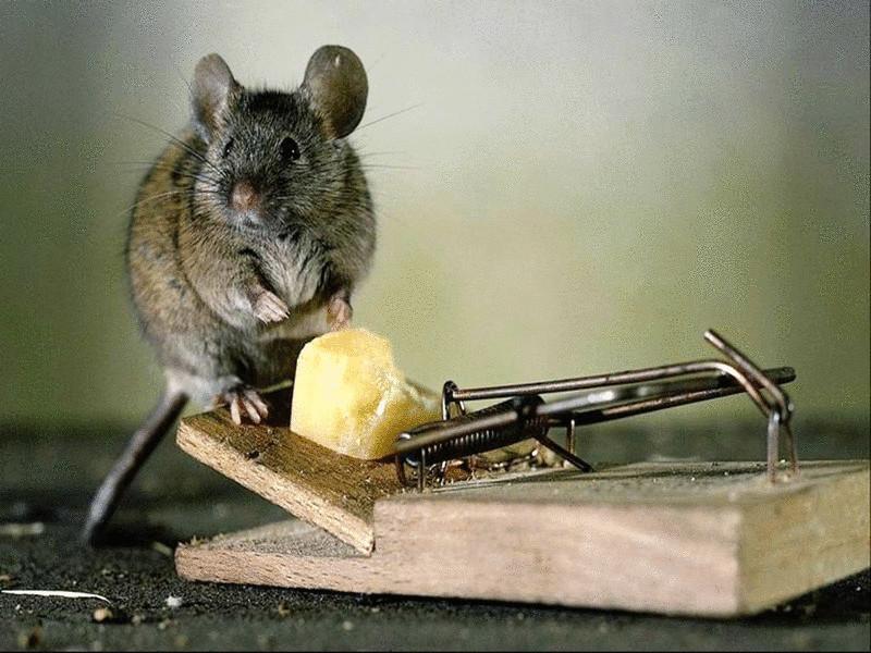 Как гуманно избавиться от мышей