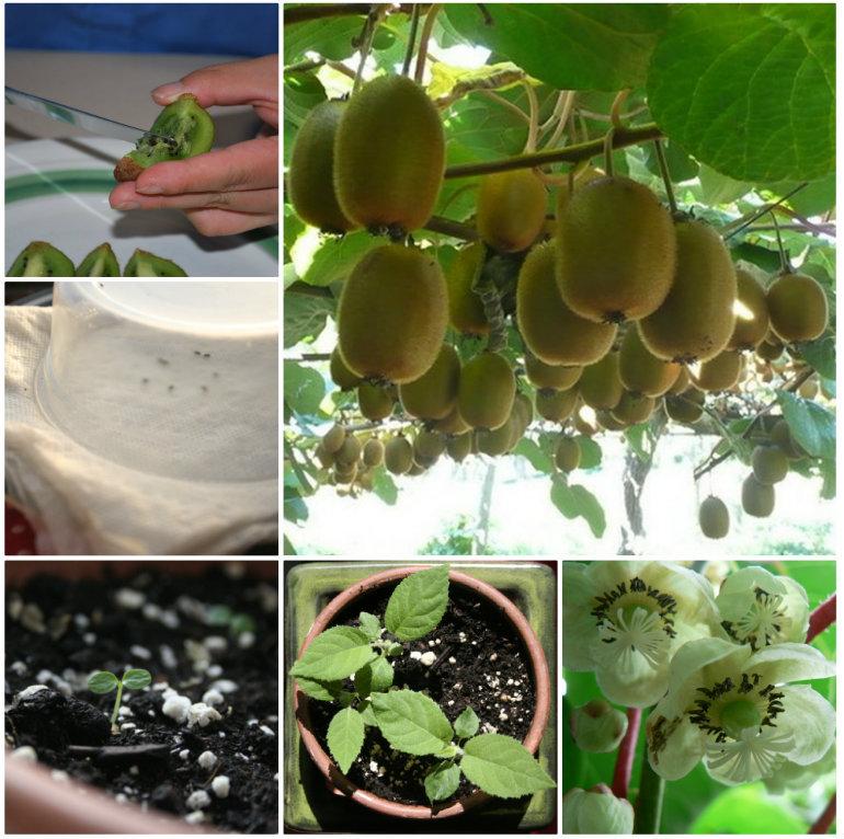 Выращивание киви на даче 5