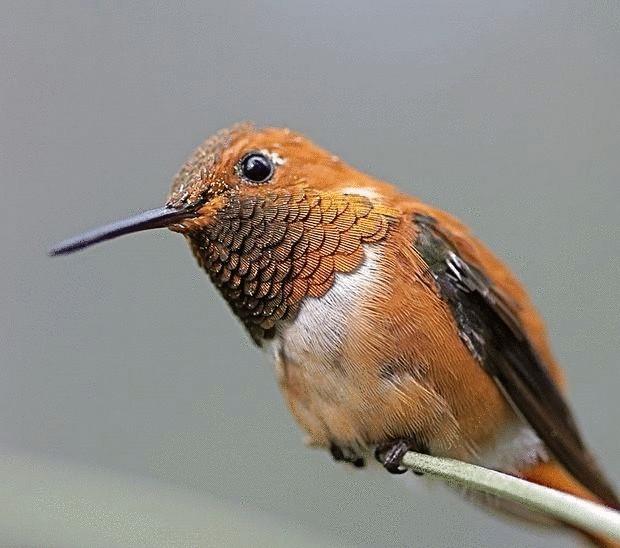 колибри-7