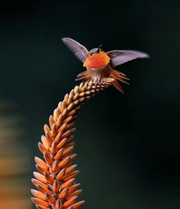 колибри-17