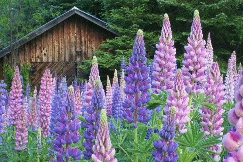 Секреты выращивания люпина на даче
