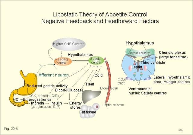 ГИПОТАЛАМУС: связь между температурой и аппетитом