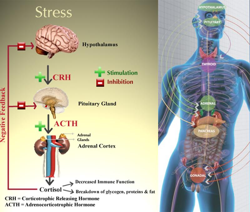Повышенное содержание кортизола в крови 5