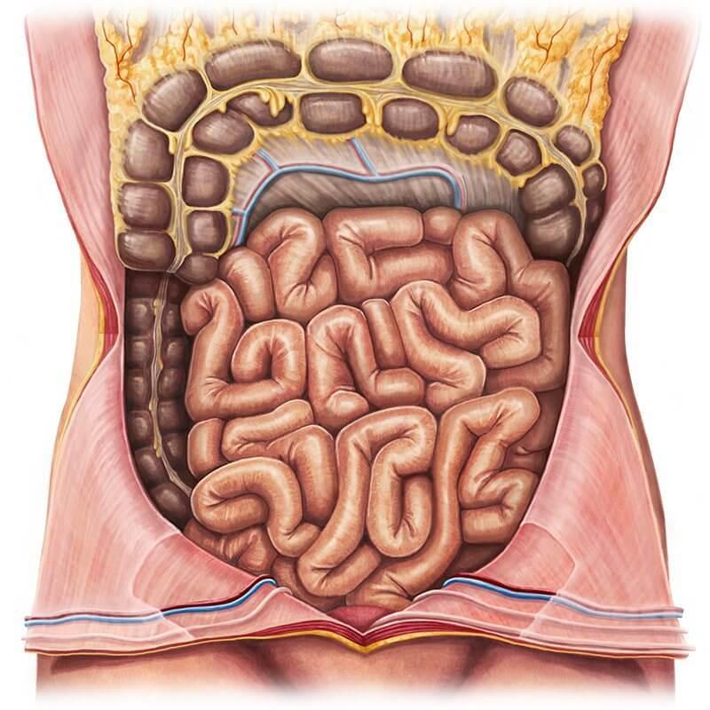 Тонкий кишечник: Как поддержать здоровье одного из самых таинственных органов