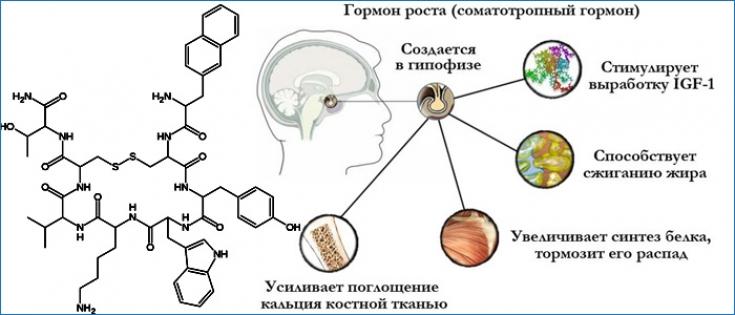 Соматотропин: как наладить выработку гормона молодости и стройности