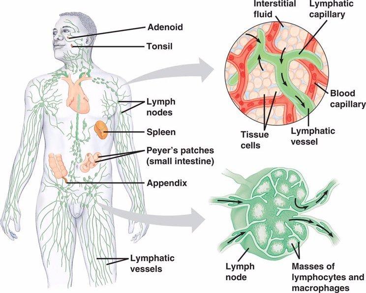 Лимфодренаж: зачем и как прокачивать лимфу