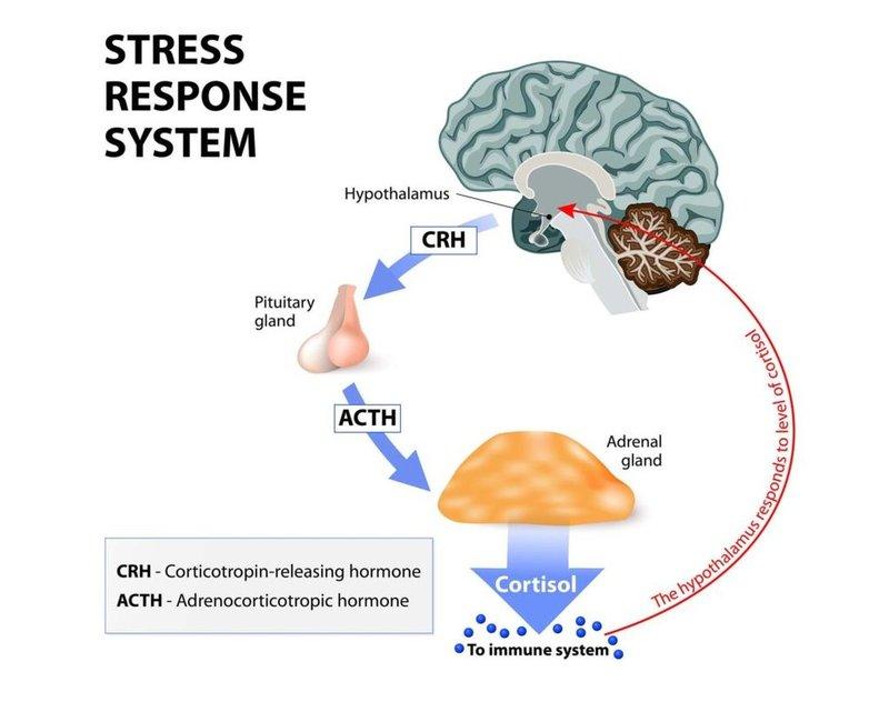 Как взять кортизол под контроль и снять стресс за 6 шагов