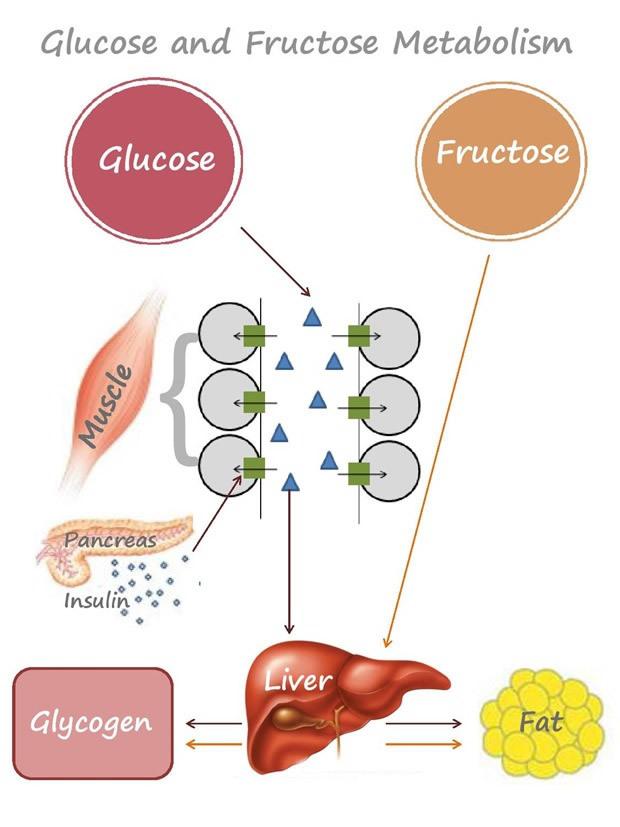 Сладкий яд: Как фруктоза приводит к диабету