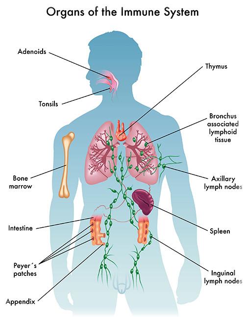 Здоровая лимфосистема – сильный иммунитет