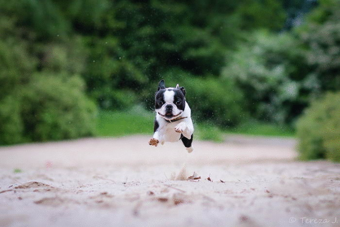 Бостон терьер (Boston Terrier)