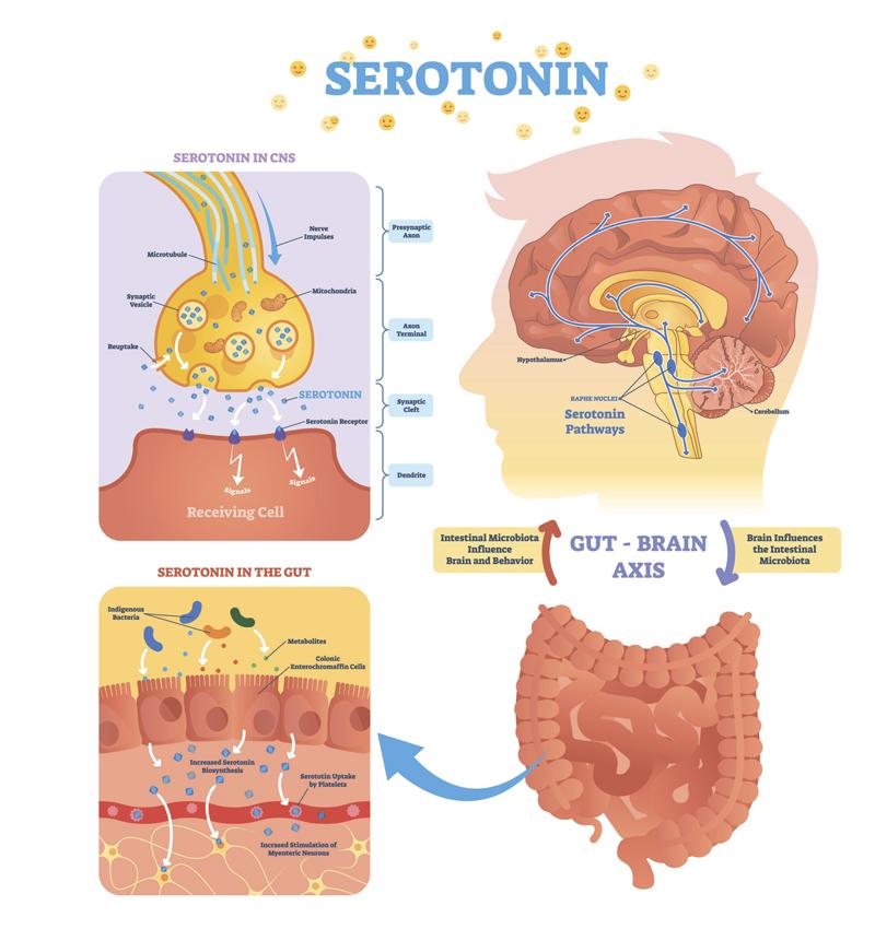 Серотонин: как повысить уровень гормона счастья