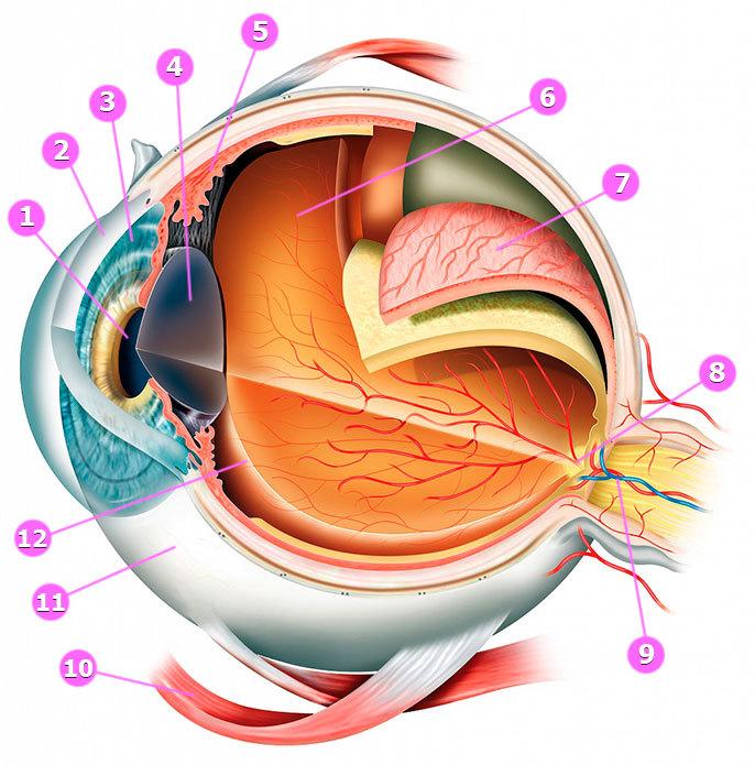 Здоровая печень = здоровые глаза: Как восстановить зрение