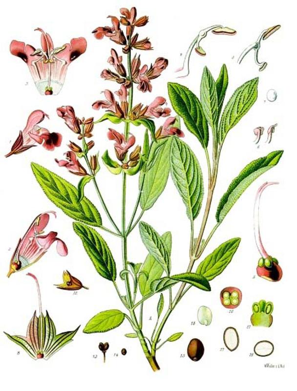 Растения с доказанными противовирусными свойствами: ТОП-15