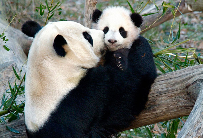 Как панды выживают на растительной диете: http://econet.ru/articles/21538-kak-pandy-vyzhivayut-na-rastitelnoy-diete