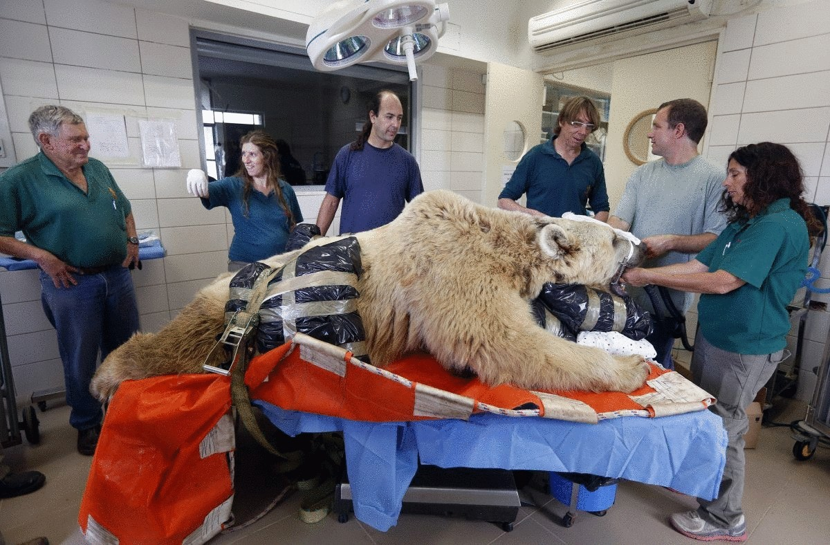 zoo-staff-stand-beside-mango-a-19-year-old-syrian-brown-bear-during-preparations-before-his-surgery-in-tel-aviv-israel-in-may-mango-suffers-from-a-slipped-disk-and-was-due-to-undergo-complicated-spinal-surgery