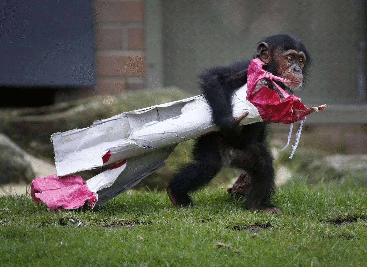 a-13-month-old-chimp-named-fumo-carries-a-christmas-present-of-food-treats-in-wrapping-paper-under-his-arm-during-a-christmas-themed-feeding-time-at-sydneys-taronga-park-zoo-on-dec-9