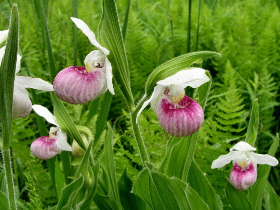18 Королевская  орхидея