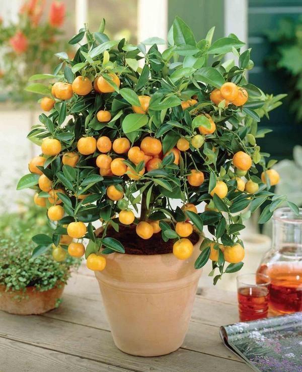 Как из семени вырастить апельсиновое дерево дома