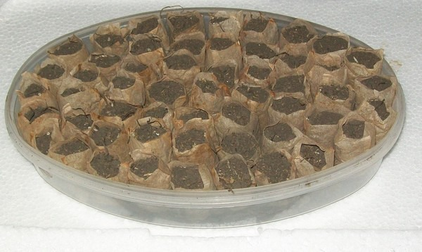 Выращивание рассады в чайных пакетиках