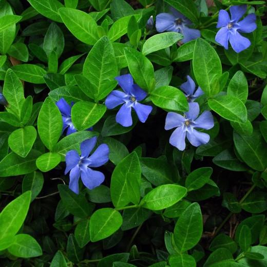 Цветущие покровные растения