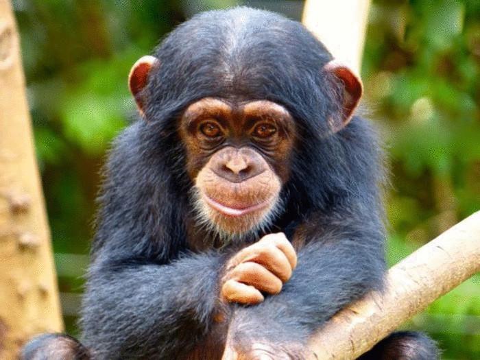 Шимпанзе - носители СПИПа.