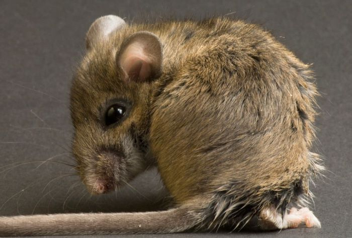 Полевая мышь - разносчик Мачупо.