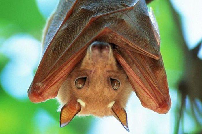 Африканская фруктовая летучая мышь.