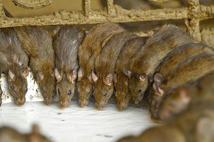 Опасная многососковая крыса.