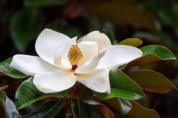 Необыкновенная красота и упоительный аромат магнолии издавна вызывают восхищение.