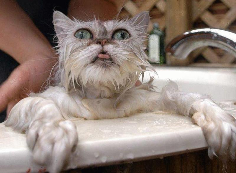 Как мыть персидского кота