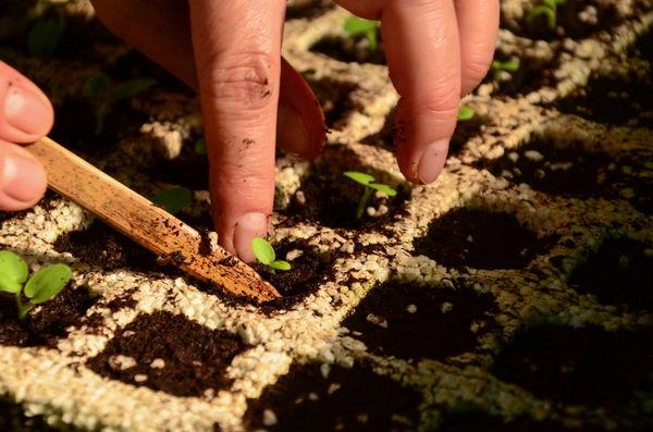 Как правильно пикировать рассаду?