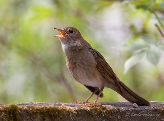 исцеляющее пение птиц
