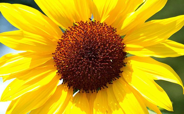 20 съдобных цветков, об использовании которых в кулинарии никто и не догадывался
