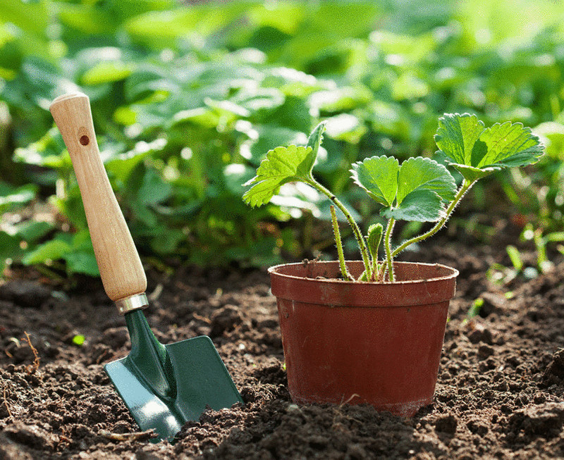 Как ухаживать за клубникой после урожая