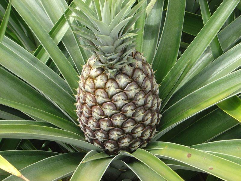 ananas-kakie-byvayut-i-kak-vyrastit-doma-iz-hoholka