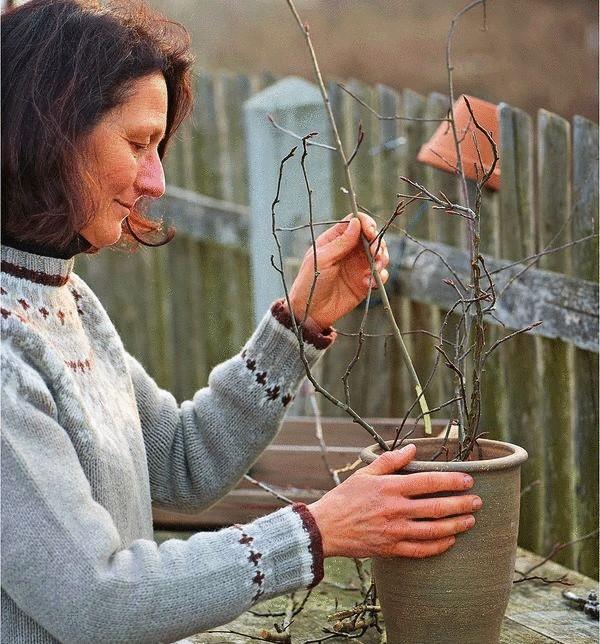 Поставьте ветки в вазу и налейте теплой водыhttp://econet.ru/category/usadba