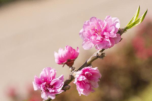 Персиковое дерево http://econet.ru/category/usadba